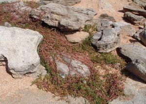 beach weeds